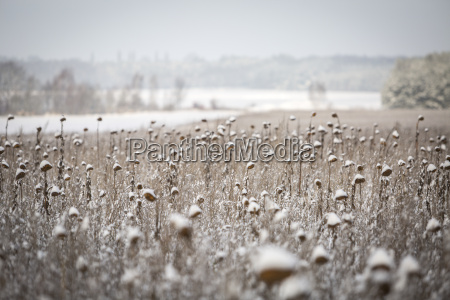 germany brandenburg snow covered sunflower field