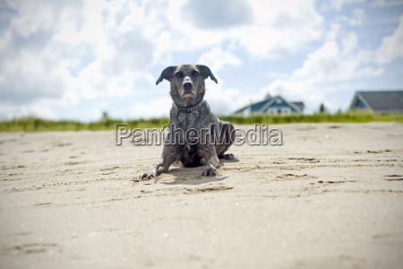 mixed breed whippet australian cattle dog