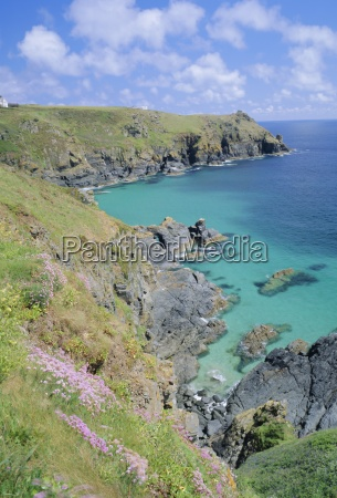 thrift flowering on the cliffs the