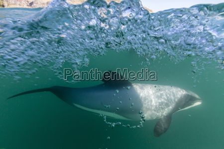 adult hectors dolphins cephalorhynchus hectori underwater