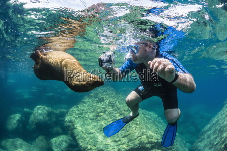 curious young california sea lion zalophus
