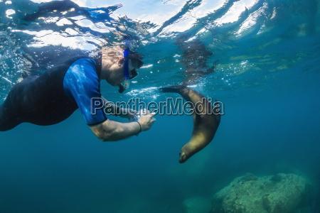 young california sea lion zalophus californianus