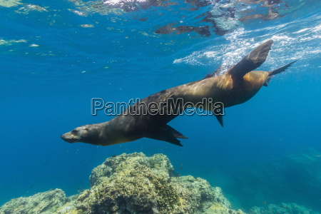 california sea lions zalophus californianus underwater