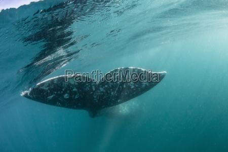 california gray whale eschrichtius robustus flukes