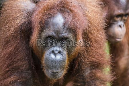 mother and infant bornean orangutan pongo