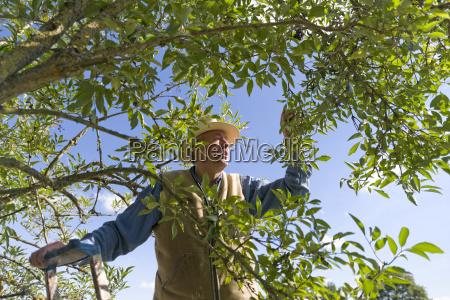 senior man harvesting elderberries
