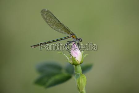female banded demoiselle on rose bud