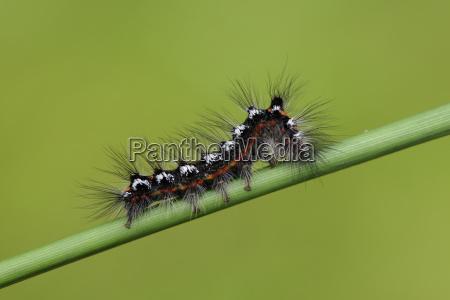 caterpillar of yellow tail creeping on