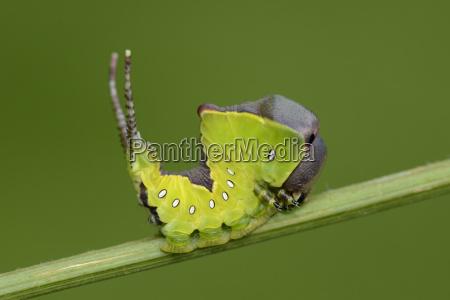 larva of puss moth on stem