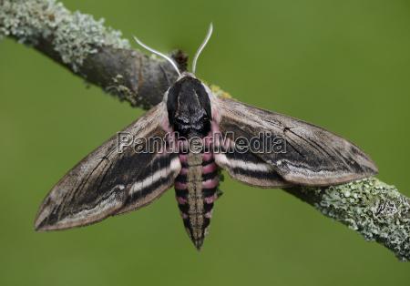 privet hawk moth on branch