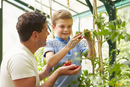father and son harvesting home grown