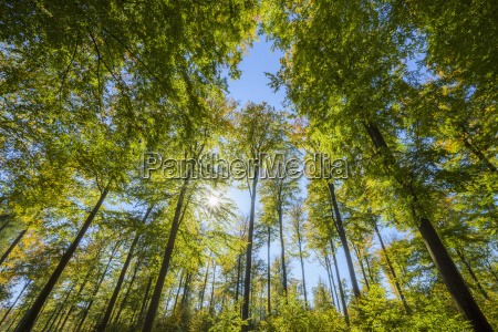 view looking up into beech treetops
