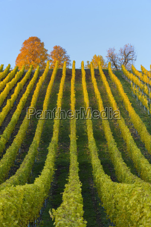 colorful vineyards in autumn volkach maininsel