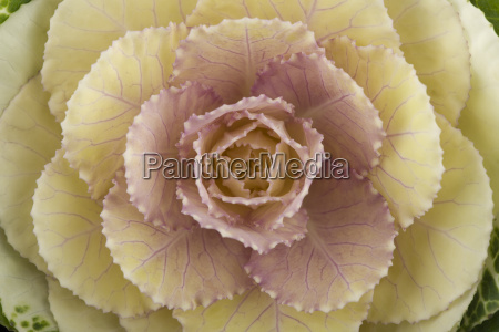 ornamental cabbage close up