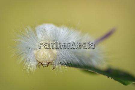 grub of pale tussock moth