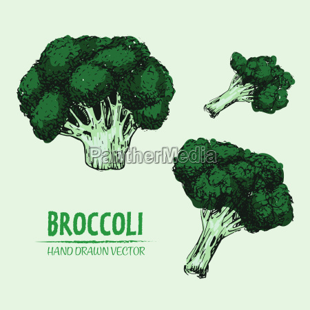 digitaler vektor detaillierter farb brokkoli hand