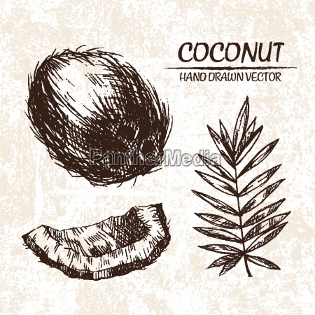 digital vector detailed coconut hand drawn