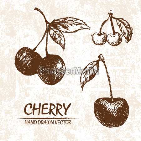 digital vector detailed cherry hand drawn