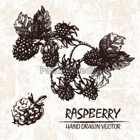 digital vector detailed raspberry hand drawn