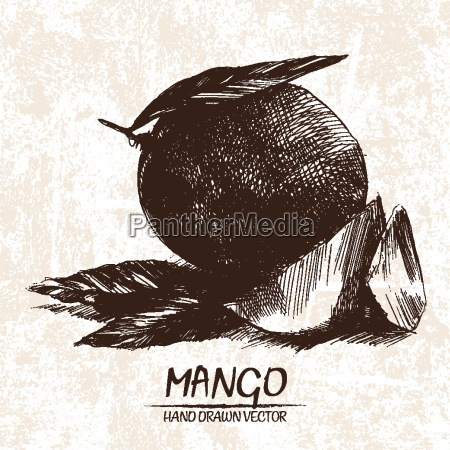 digital vector detailed mango hand drawn