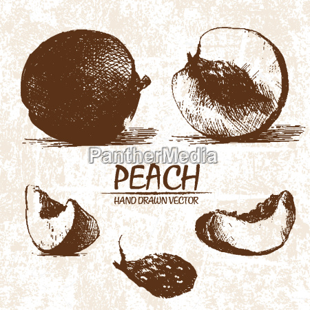 digital vector detailed peach hand drawn