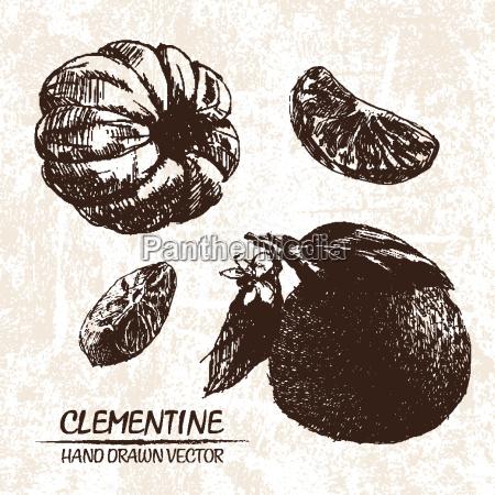 digital vector detailed clementine hand drawn