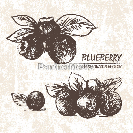 digital vector detailed blueberry hand drawn