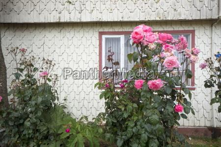 haeuser blume pflanze gewaechs rose horizontal