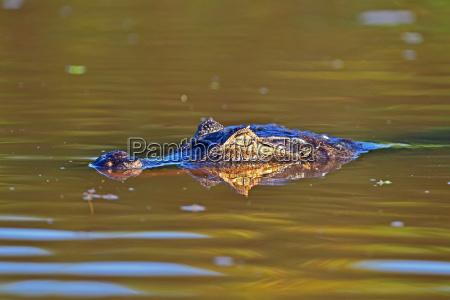 cayman, pantanal, mato, grosso, brasilien, südamerika - 20900713
