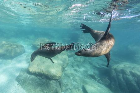 california sea lions zalophus californianus playing
