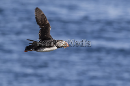 adult atlantic puffin fratercula arctica in