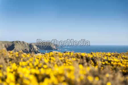 gorse covered cliffs along cornish coastline