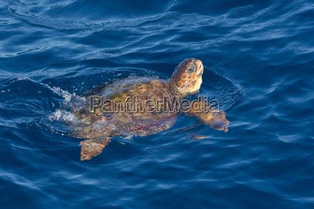 juvenile loggerhead turtle caretta caretta swimming