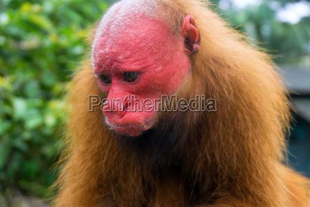 bald uakari monkey face