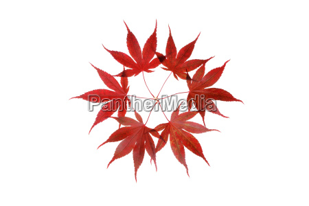 red autumn leaves of japanese maple
