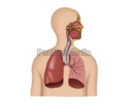 anatomie der menschlichen atemwege