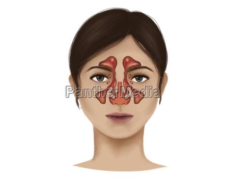 anatomie der nasenhoehlen