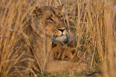 tier saeugetier afrika loewe katze raubkatze