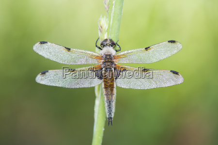 four spotted chaser on blade of